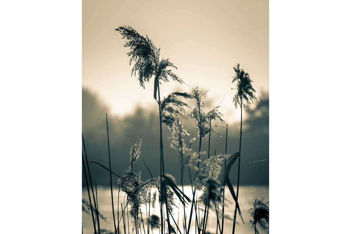 Lakeside reeds and grasses in Surrey, United Kingdom.