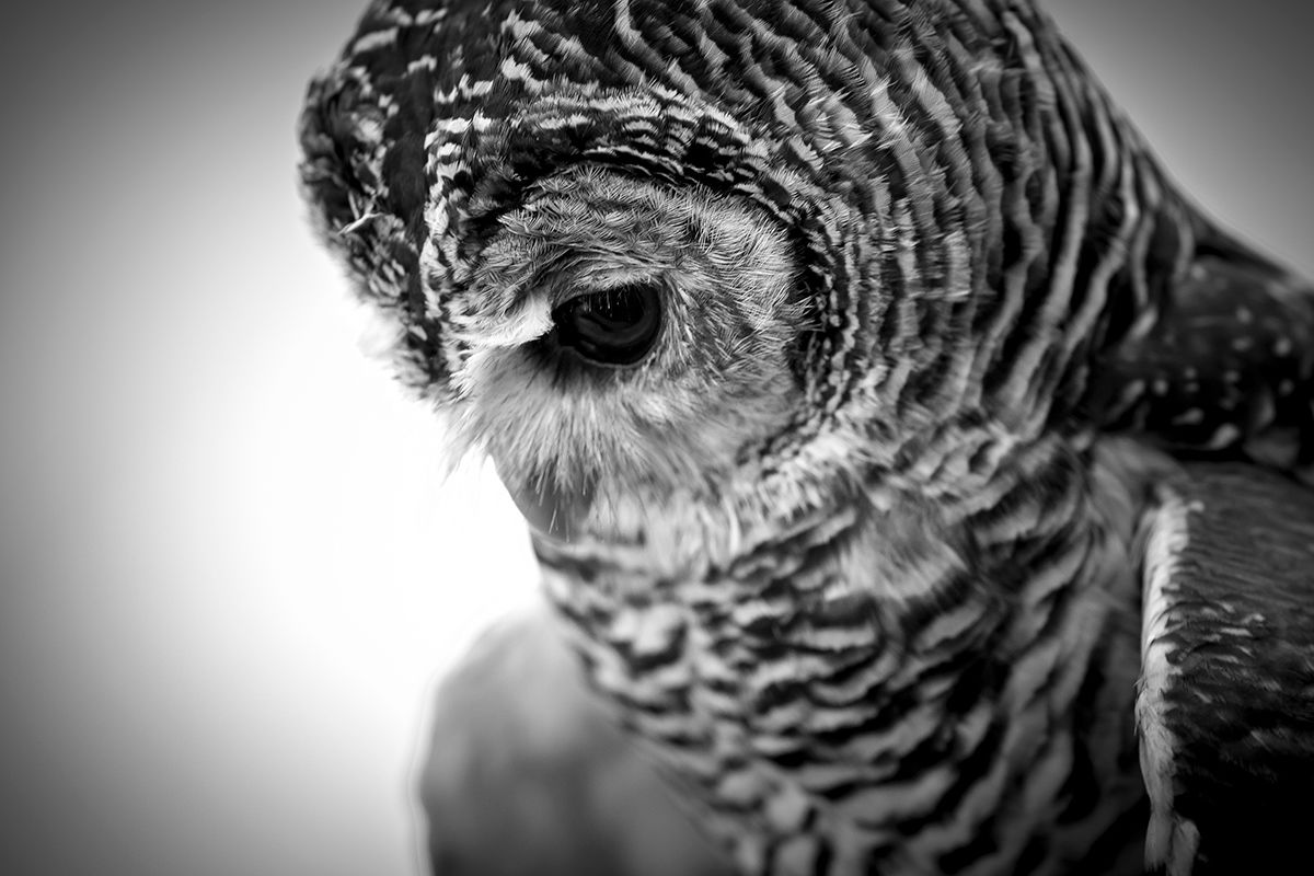 Close up of a Barn Owl in black and white.