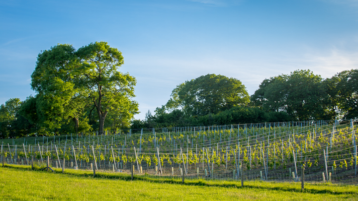Vineyard in East Sussex.